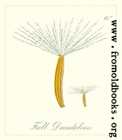 65. Fall Dandelion Seeds