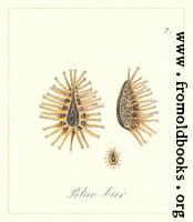 71. Blue Bur Seeds