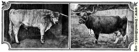 British Breeds of Cattle I (1/3)