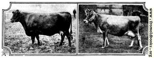 British Breeds of Cattle I (3/3)