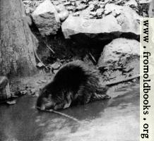 Canadian Beaver (3 of 3)