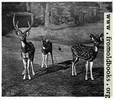 Axis Deer (Calcutta)