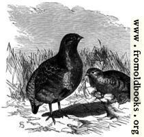 Partridges.