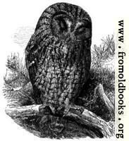 The Brown Owl (Syrnium Aluco).