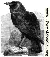 The Raven (Corvus Corax)
