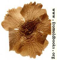 Harwood 5: pressed flower