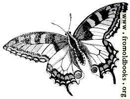 678.—Swallowtail Butterfly