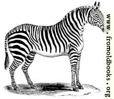 0987.—Zebra standing at rest.