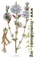 30.—Chicory, Cichorium Intybus, L.
