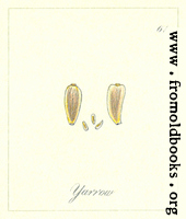 61. Yarrow seed