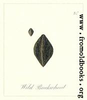 75. Wild Buckwheat Seeds