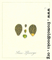 77. Sun Spurge Seeds