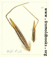 80. Wild Oats Seeds