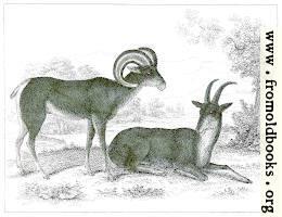 XLIII..—Aragli or Big Horn.
