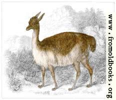 XLIII.—Vicuña of Peru