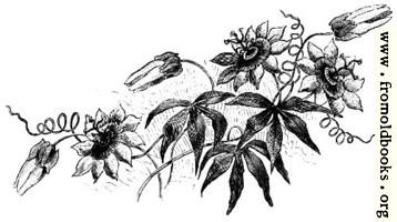 Dark Passion Flowers