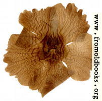 Harwood 6: pressed flower from the other side