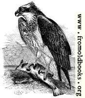 The Osprey (Pandion)