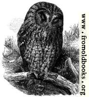 The Brown Owl (Syrnium Aluco).